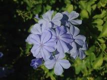 Bleiwurz-Auriculate (blauer Bleiwurz oder Kap Leadwort) Anlage, die im Garten blüht Stockbilder