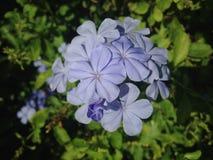 Bleiwurz-Auriculate (blauer Bleiwurz oder Kap Leadwort) Anlage, die im Garten blüht Lizenzfreies Stockfoto