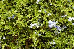 Bleiwurz blüht im Garten Lizenzfreies Stockbild