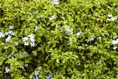 Bleiwurz blüht im Garten Lizenzfreie Stockbilder