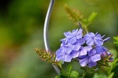 Bleiwurz, blaue Blumen, Abschluss oben stockfoto