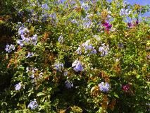 Bleiwurz-Blumen Lizenzfreie Stockfotos