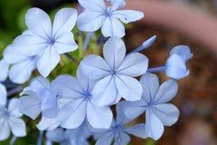 Bleiwurzblumen Stockfoto