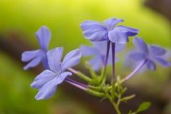 Bleiwurzblumenhintergrund (leadworth Blume) Stockbilder