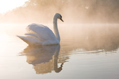 blek swan Royaltyfri Fotografi