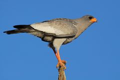 Bleke goshawk Chanting Royalty-vrije Stock Foto