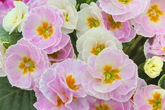 Bleke pnk en witte die Primula's in bos hierboven wordt bekeken van royalty-vrije stock afbeeldingen