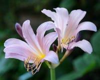 Bleke purpere daylillies in de zomer stock afbeelding