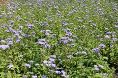 Bleke violette bloemen van Ageratum-houstonianum stock afbeeldingen