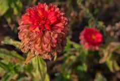 Blekna dahlian i höstträdgården Royaltyfria Bilder