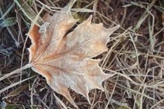 Blekna den forsted lönnlövet på frostat gräs arkivbild