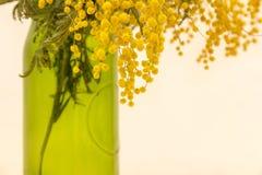 Blekna den gula mimosan royaltyfria bilder