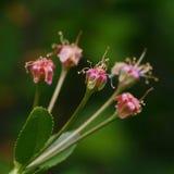 Blekna körsbärblommor fotografering för bildbyråer