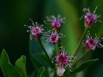 Blekna körsbärblommor arkivfoton