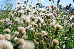 Bleknar fältet för suggatisteln wild blomma siberia Arkivfoto