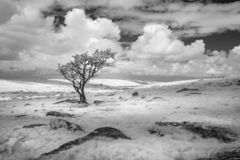 Blekt kargt landskap med det ensamma trädet, Bodmin hed, Cornwall, UK arkivfoto