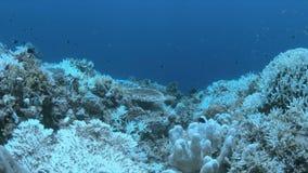 Blekte koraller arkivfilmer