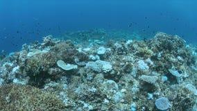 Blekte koraller stock video