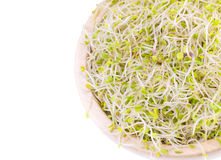 Blend of broccoli, alfalfa, clover and radish sprouts Royalty Free Stock Image