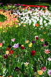 Blend of tulip colors at the botanical garden from Cluj Royalty Free Stock Images