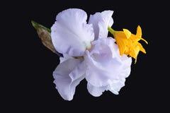 Blende und Lilie auf einem schwarzen Hintergrund Stockfoto