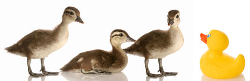 Blended family. Three baby mallard ducks and a rubber duck stock photography