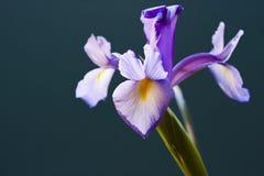 Blenden-Blume Lizenzfreie Stockfotografie