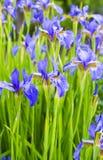 blenden Nahaufnahme der Irisblume Stockfotografie