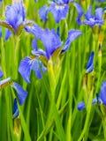 blenden Nahaufnahme der Irisblume Universalschablone für Grußkarte, Webseite, Hintergrund Lizenzfreie Stockfotografie