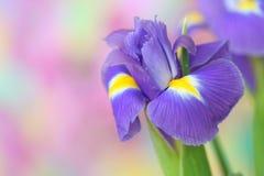 Blendenblume Lizenzfreies Stockfoto