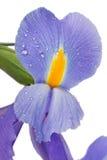 Blendenblume Stockbild