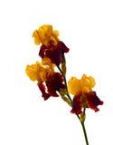 Blendenblume getrennt Stockbild