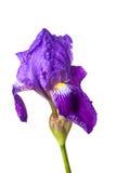 Blendenblume getrennt Stockfoto