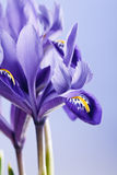Blendenblumen Lizenzfreies Stockbild