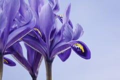 Blendenblumen Stockfoto