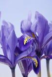 Blendenblumen Lizenzfreie Stockbilder