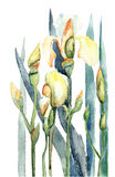 Blendenblumen, Aquarellabbildung Lizenzfreies Stockfoto