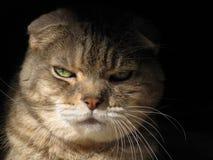 Blendend Anstarren der goldenen gemusterten Katze Stockfotografie