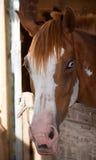 Blendend Pferd Stockbilder