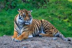 Blendend Tigerniederlegung Lizenzfreies Stockfoto