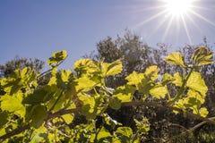 Blendenfleck auf Weinstock Lizenzfreie Stockfotos