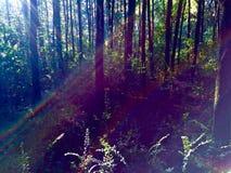 Blendenfleck in einem Kiefernwald Stockfoto