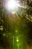 Blendenflecke des Lichtes im Wald am Frühsommermorgen Lizenzfreie Stockfotos