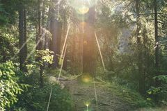 Blendenflecke des Lichtes im Wald am Frühsommermorgen - Weinlese Stockfotografie