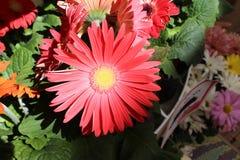 Blendung Gerbera-Gänseblümchen im Rosa Stockbild