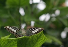 Blenheim butterfly Royalty Free Stock Photography