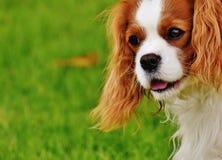 Blenheim Cavalier King Charles Spaniel Closeup Photography Stock Photo