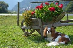 Blenheim Cavalier King Charles Spaniel in the garden Stock Photos