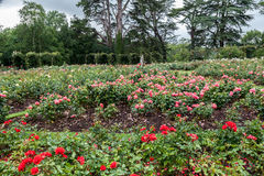 Blenheim Palace England Rose Garden Royalty Free Stock Photo