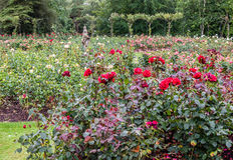 Blenheim-Palast England Rose Garden Lizenzfreies Stockfoto